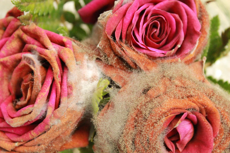 WitnessThis-Sound-Roses-Moldy